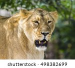 Female Asiatic Lioness Capture...