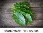 kratom  mitragyna speciosa ... | Shutterstock . vector #498422785