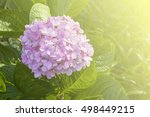 hydranyea flower in the nature ...   Shutterstock . vector #498449215