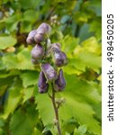 Small photo of purple aconitum Carmichaelii they blossom in the autumn season