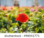 Dahlia Flowers Sprouting With...