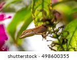 Small photo of Common Texas Lizard Caroline Anole, Green Anole, American Anole, American Chameleon