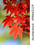 Small photo of fall leaves/Acer palmatum
