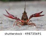 American River Crab