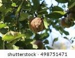 Small photo of Apple disease