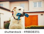 Stock photo labrador retriever with leash is waiting for walk 498838351