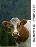 Small photo of Cow in Carinthia at the Nock Alp, Austria, in July.