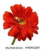 Lady Bug On Gerbera Daisy...