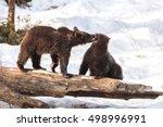 Young Brown Bears (Ursus arctos) in Lake Clark National Park, Alaska, USA