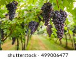 Bunches Of Ripe Grapes Before...