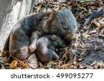 Female Wombat With Her Joey ...