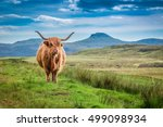Brown Highland Cow In Isle Of...