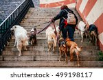 Stock photo lady walking with a bunch of dogs in the old city of genoa in liguria region italy 499198117