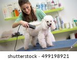 Stock photo smiling woman haircut white poodle in hair service 499198921