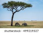 Zebras Grazing In Masai Mara ...