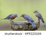 Bluebirds Gathered Around Bird...