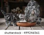 adult cat and little kitten...   Shutterstock . vector #499246561