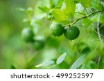Green Lemon  Lemon Tree  Lime...