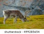 Reindeer  Rangifer Tarandus ...