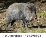 collared peccary  pecari tajacu  | Shutterstock . vector #499295935