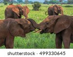 Young African Elephants Play...