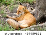 Beautiful Red Fox Resting On...