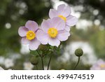 Three Graces  Anemone...