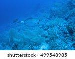 Small photo of Scrawled Filefish (Aluterus scriptus), Red sea.