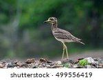 Beautiful Bird  Indian Thick...
