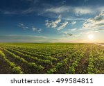 rows of young green soybeans... | Shutterstock . vector #499584811