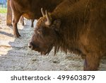bison eating  eastern... | Shutterstock . vector #499603879