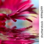 Closeup Of Pink Daisy Gerbera...