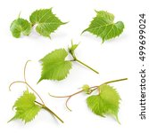 Grape Leaves Isolated White Background - Fine Art prints