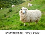 Sheep at a pasture in New Zealand - stock photo