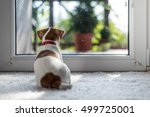 Jack Russel Puppy On White...