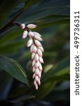 Small photo of Shell ginger, Alpinia zerumbet, flower of the Zingiberaceae family originating in China and Japan - Sao Paulo, SP, Brazil - October 8, 2016