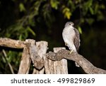 Small photo of African Goshawk (Accipiter tachiro) Sitting on Post in South Africa