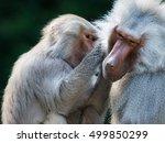 Closeup Of Grooming Baboon...