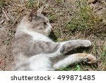 grey and white domestic cat | Shutterstock . vector #499871485