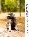 little puppy schnauzer | Shutterstock . vector #499887124