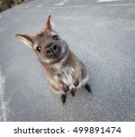 Red Necked Wallaby Standing In...