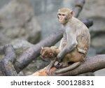 Image Of Mother Monkey And Bab...