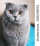 scottish fold cat closeup...   Shutterstock . vector #500158951