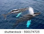 humpback whales  antarctica | Shutterstock . vector #500174725