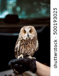 Small photo of Owl, grey forest Usana