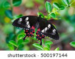 Black Butterfly Pachliopta...
