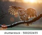 Tawny Owl Is Sitting On Birch...