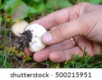 Young Puffball  Lycoperdon...