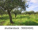 Olive Grove in Spring - stock photo