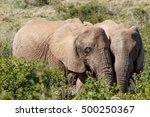 african bush elephants standing ... | Shutterstock . vector #500250367